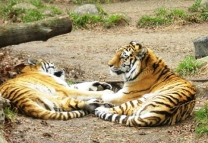 A pair of Amur tigresses in Cleveland Zoo. Notice the shoulder development and relatively less-developed rear quarters.