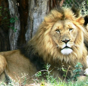 South African lion in Kruger National Park